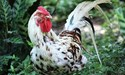 Bird flu virus: what you need to know